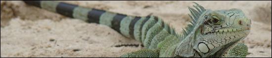 L'igouane